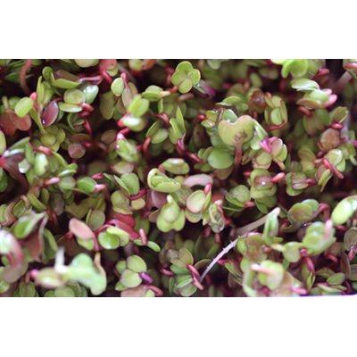 Mumm 39 s graines de radis chine rose certifi es biologiques - Radis rose de chine ...